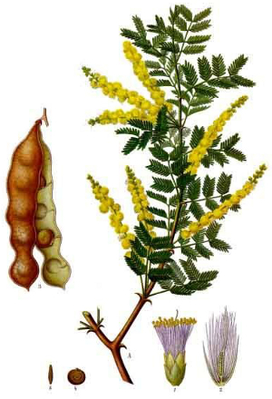 Acacia senegal.