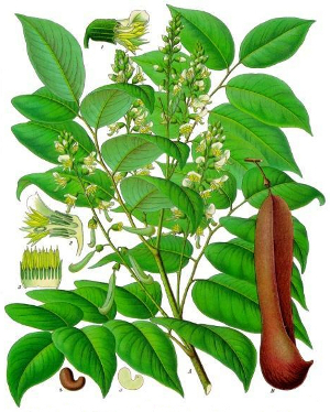 Myroxylon balsamum, or Balsum of Peru.