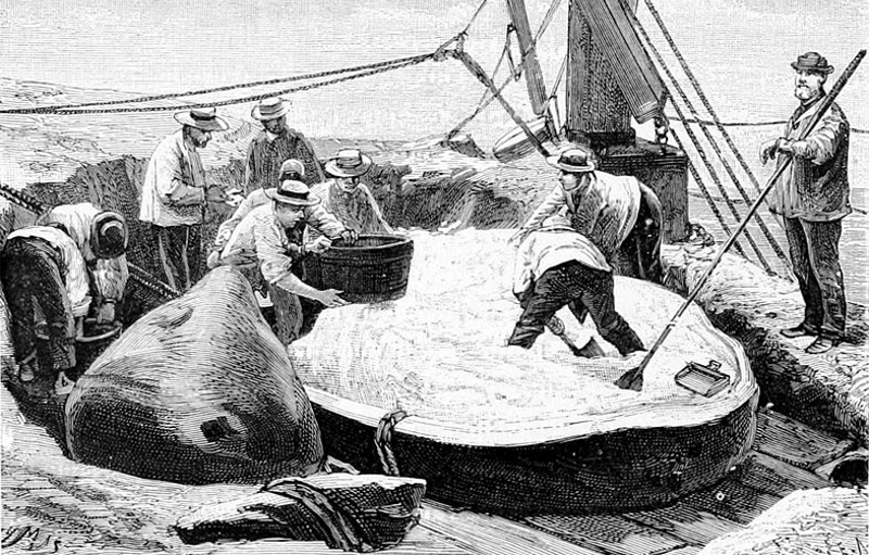 Sailors harvesting spermaceti from the head of a sperm whale.