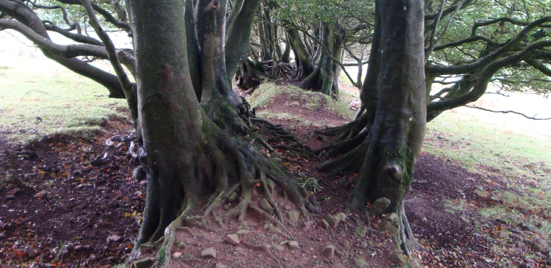 The Quantock Hills are full of ancient walls with beeches growing out of them. Note the red earth.