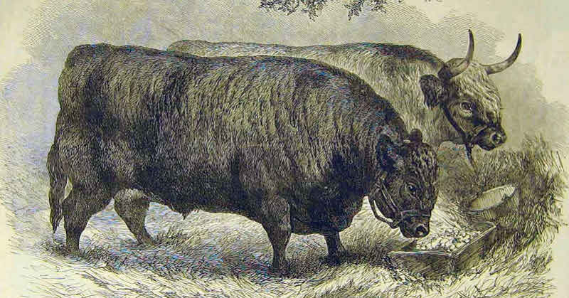 Although horse was king, oxen were used throughout the 1800s for heavy labour.
