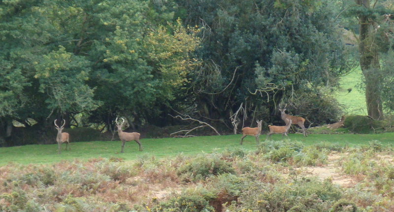 Herds of red deer are common in the Quantock Hills, this photo taken in Autumn 2015 near Crowcombe.